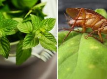 piante-allontanano-mosche-scarafaggi-